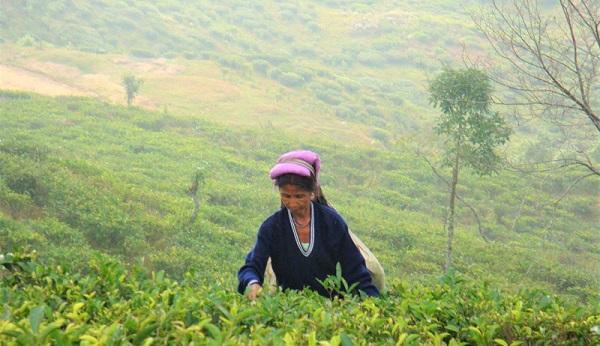 A woman picks tea in India