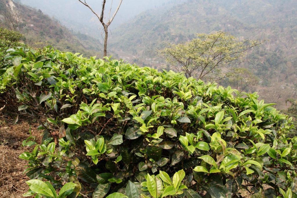 A field of organic tea in India