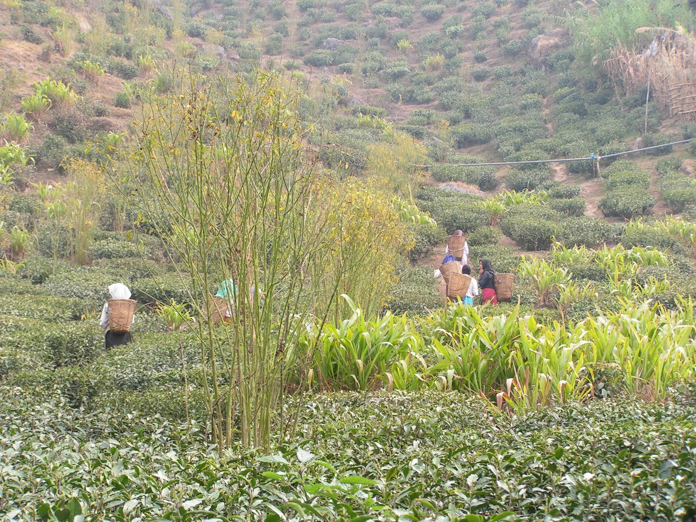 Small farmer tea garden in Darjeeling